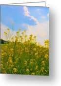 Flowers Photographs Greeting Cards - Blue Sky Yellow Flowers Greeting Card by Bill Cannon