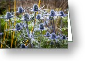 Unique Flowers Greeting Cards - Blue Stem Sea Holly Greeting Card by Kelley King