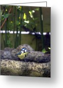 Species Greeting Cards - Blue tit on bird bath Greeting Card by Jane Rix