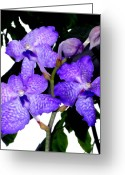 Orchids Greeting Cards - Blue Violet Orchids Greeting Card by Mindy Newman