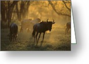 African Animals Greeting Cards - Blue Wildebeest At Sunset Ngorongoro Greeting Card by Suzi Eszterhas