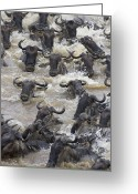 Maasai Mara Greeting Cards - Blue Wildebeest Crossing The Mara River Greeting Card by Suzi Eszterhas