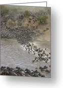 Maasai Mara Greeting Cards - Blue Wildebeest Migrating Across Mara Greeting Card by Suzi Eszterhas
