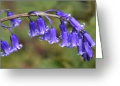 Endymion Greeting Cards - Bluebell (endymion Non-scriptus) Greeting Card by Colin Varndell