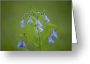 Endymion Greeting Cards - Bluebells Hyacinthoides Non-scripta Greeting Card by Joel Sartore