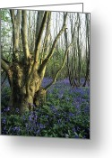 Endymion Greeting Cards - Bluebells (hyacinthoides Non-sripta) Greeting Card by Bob Gibbons
