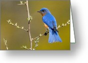 Bluebird Greeting Cards - Bluebird Bliss Greeting Card by William Jobes