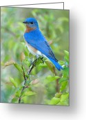  Bluebird Greeting Cards - Bluebird Joy Greeting Card by William Jobes