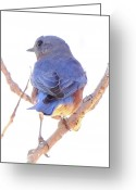 Bird Cards Greeting Cards - Bluebird On White Greeting Card by Robert Frederick