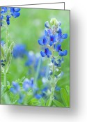 Texas Bluebonnets Greeting Cards - Bluebonnets Greeting Card by Stephen Anderson