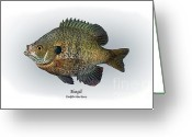Game Drawings Greeting Cards - Bluegill Greeting Card by Ralph Martens