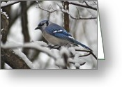 Bluejay Birds Greeting Cards - Bluejay 3648 Greeting Card by Michael Peychich