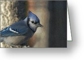 Bluejay Birds Greeting Cards - Bluejay Digitally enhanced Greeting Card by Ernie Echols