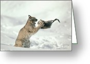 Foraging Greeting Cards - Bobcat Lynx Rufus Capturing Muskrat Greeting Card by Michael Quinton