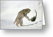 Foraging Greeting Cards - Bobcat Lynx Rufus Hunting Muskrat Greeting Card by Michael Quinton