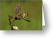 Feeding Greeting Cards - Bobolink Greeting Card by Mircea Costina Photography