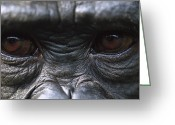 Chimpanzee Greeting Cards - Bonobo Pan Paniscus Close-up Of Eyes Greeting Card by Cyril Ruoso