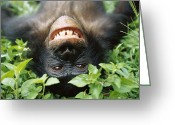 Primates Greeting Cards - Bonobo Pan Paniscus Smiling Greeting Card by Cyril Ruoso