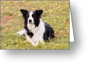 Dog Prints Photo Greeting Cards - Border Collie in Field of Yellow Flowers Greeting Card by Michelle Wrighton