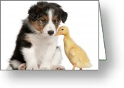 Duckling Greeting Cards - Border Collie Puppy And Domestic Duckling Greeting Card by Life On White
