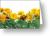 Gift Pyrography Greeting Cards - Border from  French Marigold  Greeting Card by Aleksandr Volkov