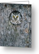 Raptor Photography Greeting Cards - Boreal Owl Aegolius Funereus Peaking Greeting Card by Konrad Wothe