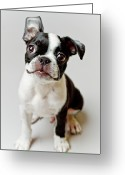 Domestic Greeting Cards - Boston Terrier Dog Puppy Greeting Card by Square Dog Photography