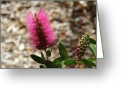 Leaves Jewelry Greeting Cards - Bottlebrush Flower. Greeting Card by Michael Clarke JP