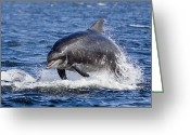 Bottle-nosed Dolphin Greeting Cards - Bottlenose Dolphin Breach Greeting Card by Catherine Clark/www.cjdolfinphotography.co.uk