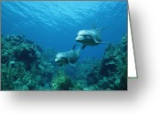 Bottle-nosed Dolphin Greeting Cards - Bottlenose Dolphins and Coral Reef Greeting Card by Konrad Wothe