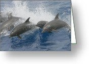 Bottle-nosed Dolphin Greeting Cards - Bottlenose Dolphins Greeting Card by Photobotos Image