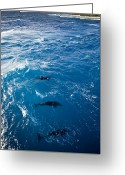 French Polynesia Greeting Cards - Bottlenose Dolphins Tursiops Trunatus Greeting Card by Tim Laman