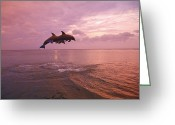Bottle-nosed Dolphin Greeting Cards - Bottlenose Dolphins (tursiops Truncatus) Jumping Together At Sunset In The Caribbean Sea Greeting Card by Design Pics / Stuart Westmorland