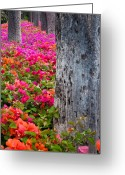 Bougainvillea Greeting Cards - Bougainvillea Forever Greeting Card by Eggers   Photography