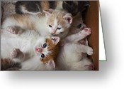 Mammal Photo Greeting Cards - Box Full Of Kittens Greeting Card by Garry Gay