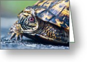Intent Greeting Cards - Box Turtle 1 Greeting Card by Douglas Barnett