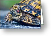 Intent Greeting Cards - Box Turtle 2 Greeting Card by Douglas Barnett