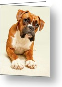 Animal Portrait Greeting Cards - Boxer Dog On Ivory Backdrop Greeting Card by Danny Beattie Photography