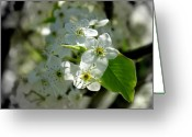 Bradford Greeting Cards - Bradford Pear Blooms Greeting Card by Todd A Blanchard