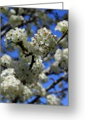 Bradford Greeting Cards - Bradford Pear Blossoms enhanced Greeting Card by Suzanne Gaff