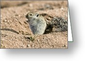 Desert Rat Photo Greeting Cards - Brants Whistling Rat Greeting Card by Peter Chadwick