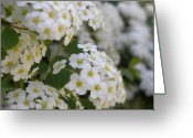 White And Green Greeting Cards - Bridal Wreath Spirea Greeting Card by Laura Yamada