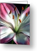 Pink Framed Prints Greeting Cards - Brilliance Greeting Card by Kathy Yates
