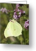 Food Source Greeting Cards - Brimstone Butterfly Greeting Card by Adrian Bicker
