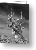 Environmental Greeting Cards - Bristlecone Pine - A survival expert Greeting Card by Christine Till
