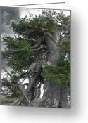 Survivor Greeting Cards - Bristlecone Pine tree on the rim of Crater Lake - Oregon Greeting Card by Christine Till