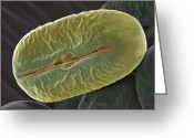 Broad-bean Greeting Cards - Broad Bean Pollen, Sem Greeting Card by Steve Gschmeissner