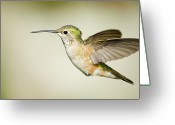 Female Animal Greeting Cards - Broad tailed hummingbird Greeting Card by Jon Eichelberger