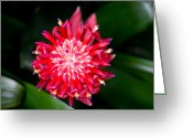 Bromeliad Greeting Cards - Bromeliad bloom Greeting Card by Rich Franco