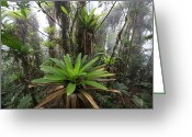 Bromeliad Greeting Cards - Bromeliad Bromeliaceae And Tree Fern Greeting Card by Cyril Ruoso